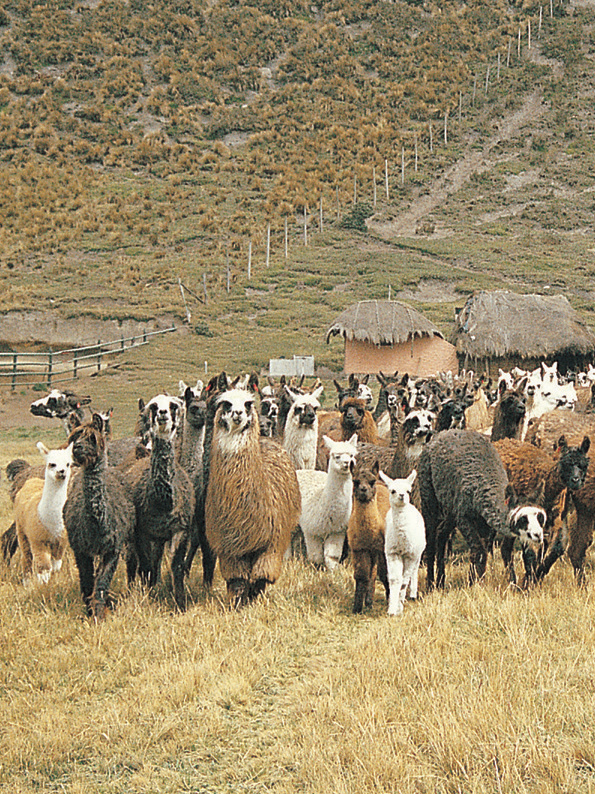 Llamas in the Andes of Ecuador