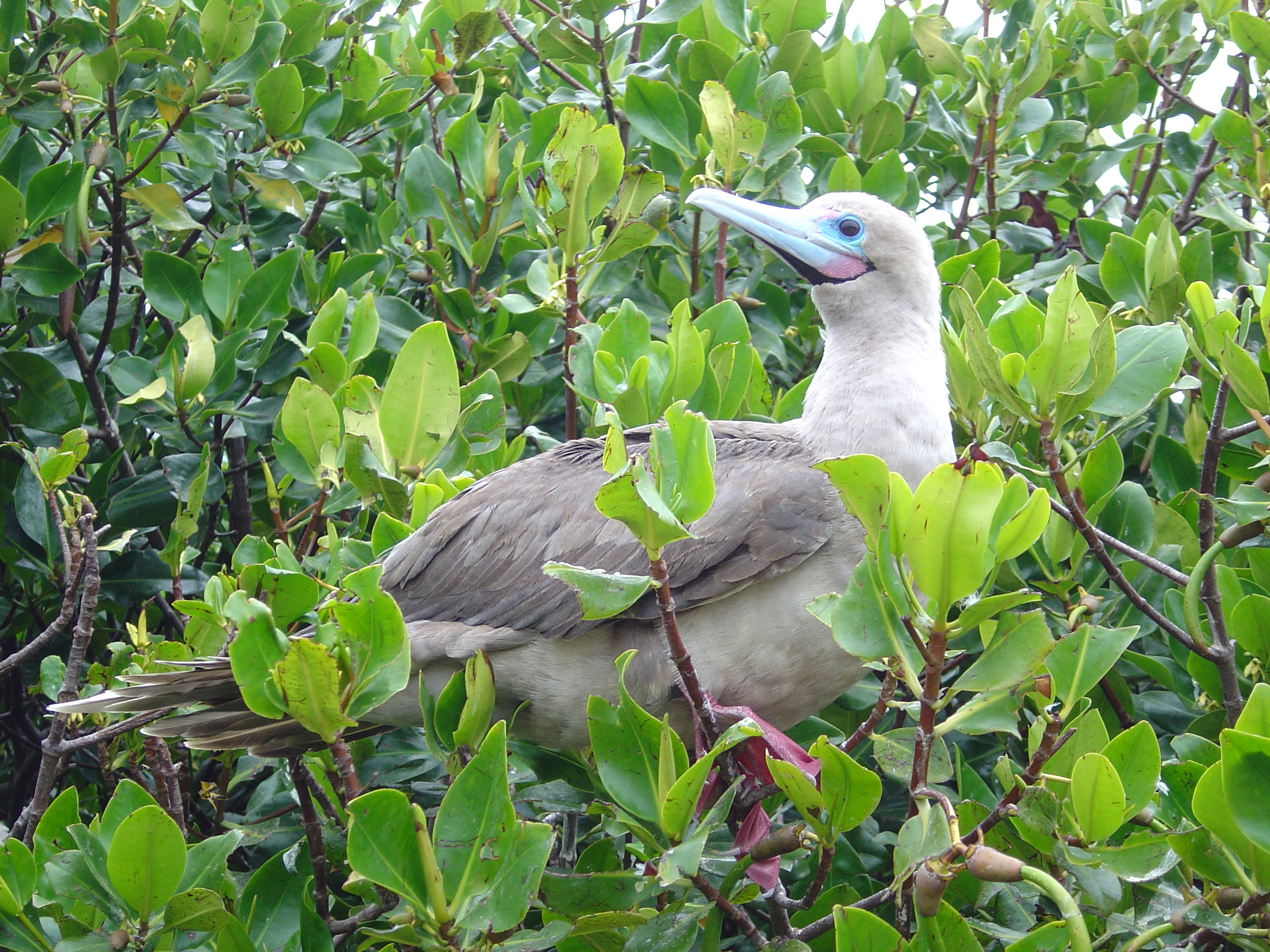 Galapagos Islands-Red Footed Booby