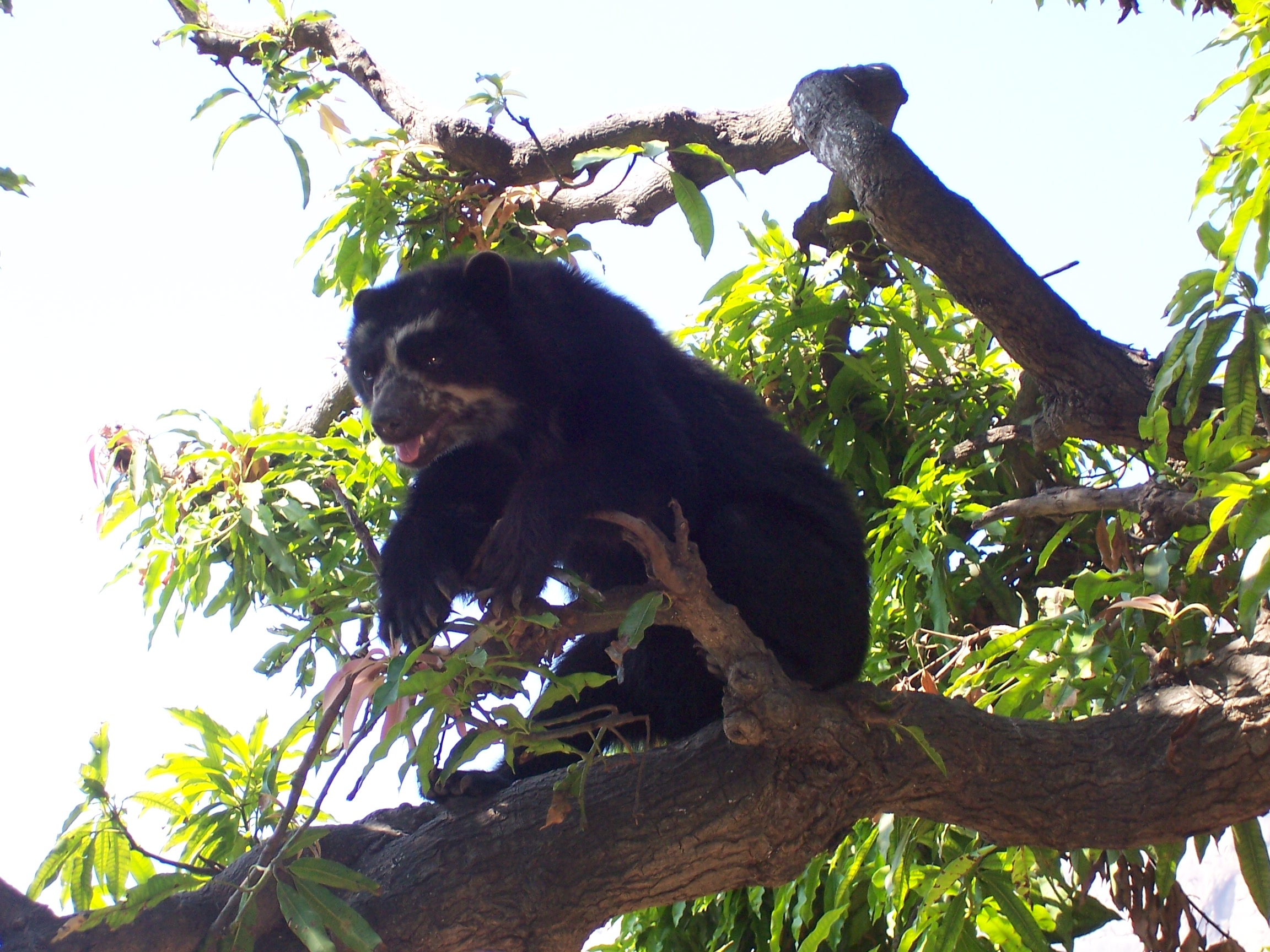 Peru's Andean Spectacled Bear