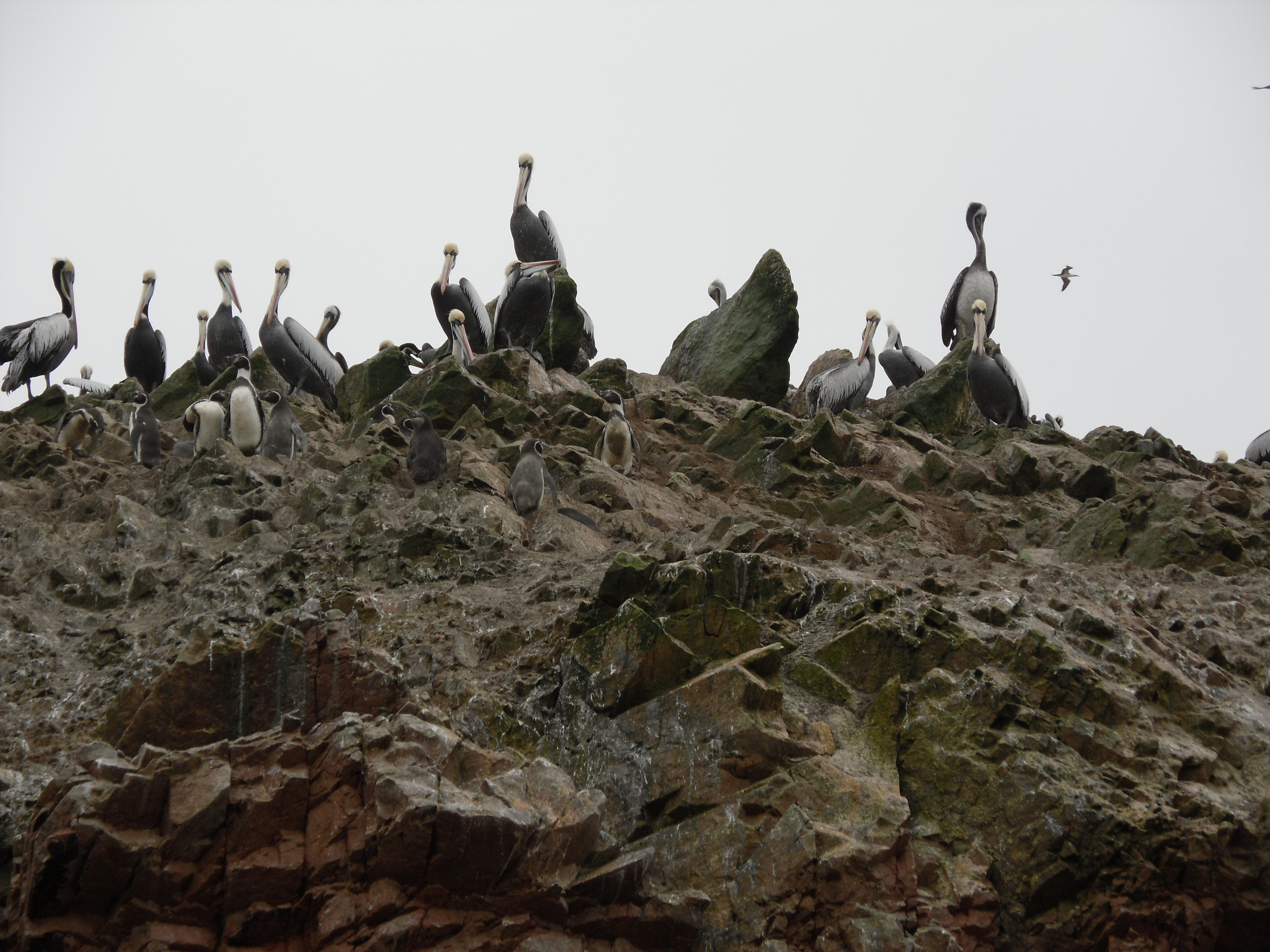 Pelicans and Penguins of the Ballestas Islands, Peru