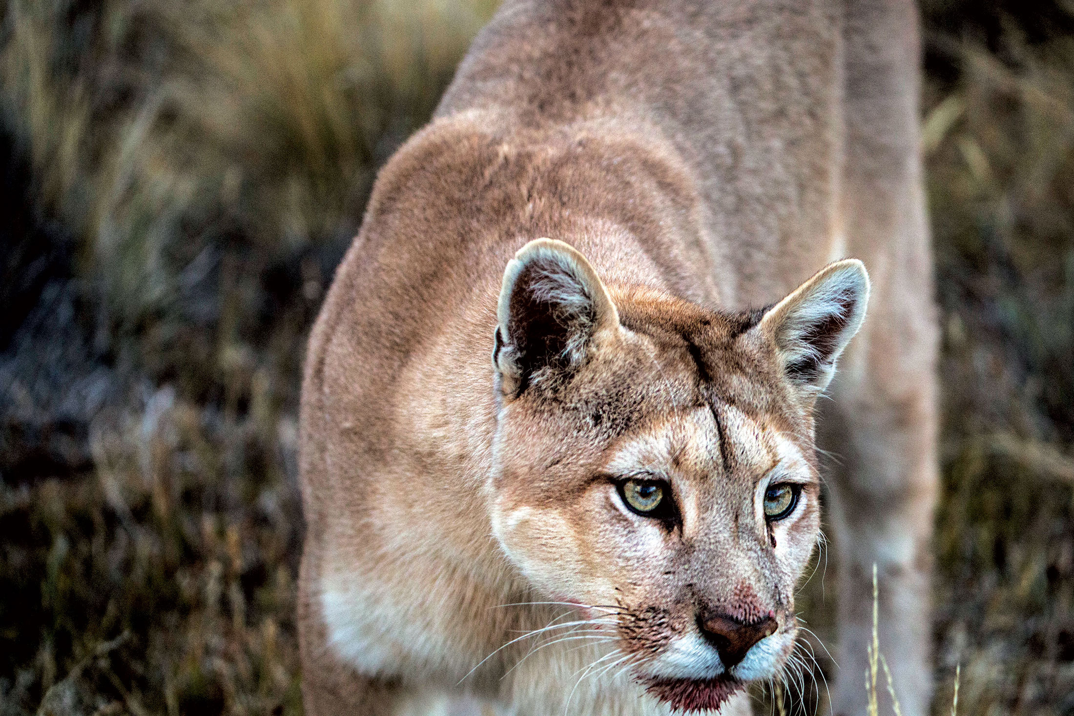 Puma in Paine National Park Patagonia Chile