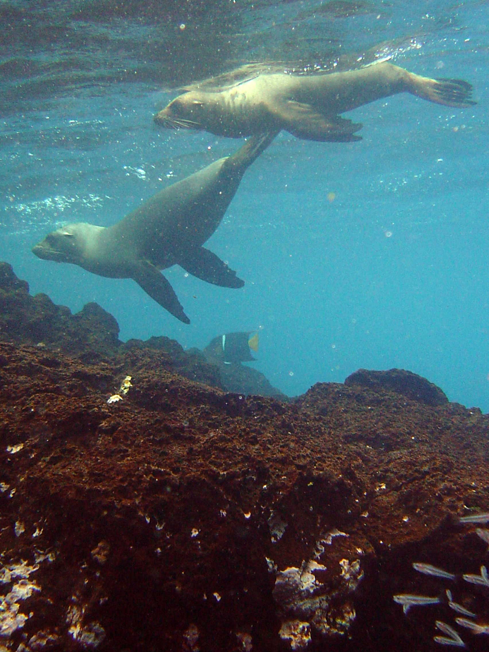 Sea lions playing in the Galapagos Islands