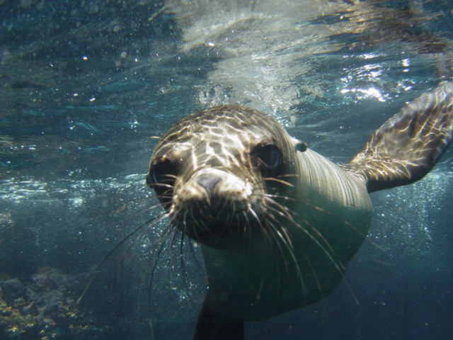 Snorkeling with Galapagos Islands Sea lions