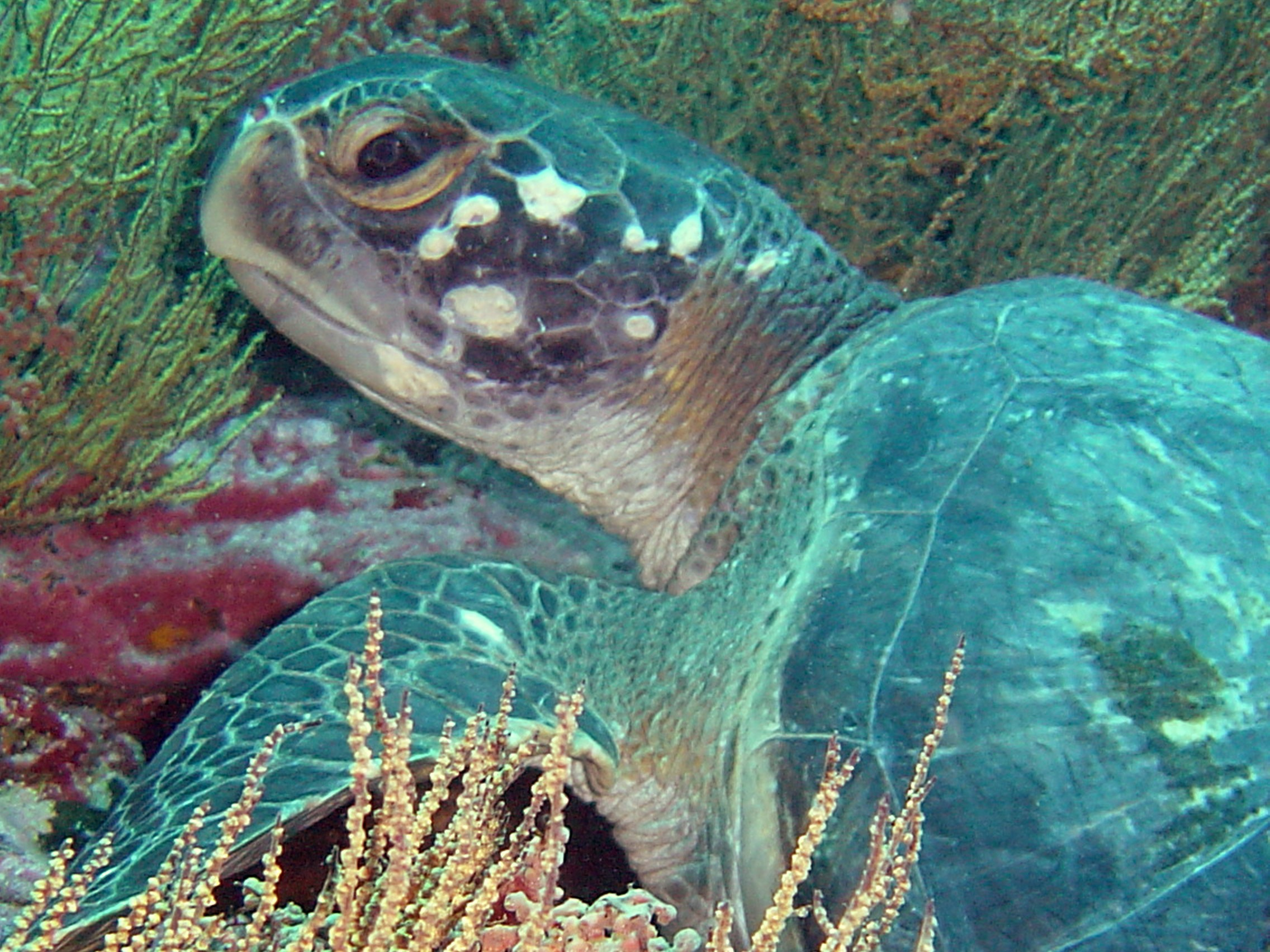 Snorkeling with sea turtles in the Galapagos Islands