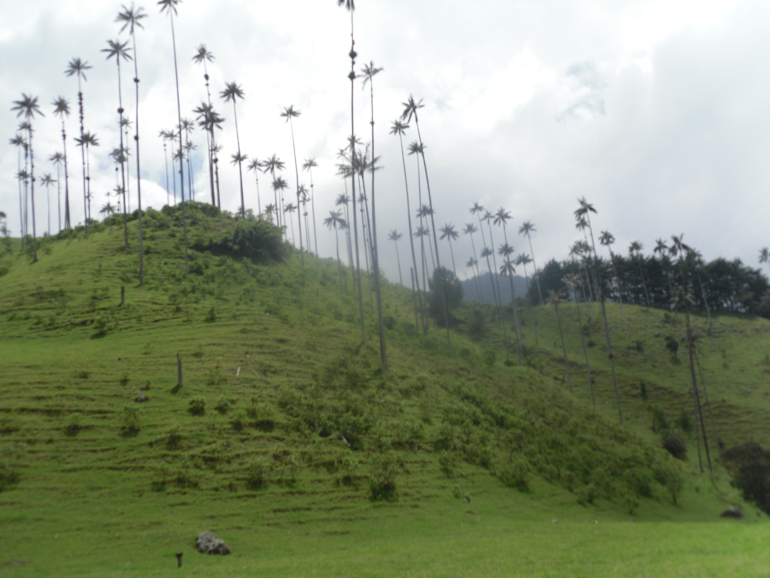 Wax Palms of the Cocora Valley in the Coffee Country of Colombia