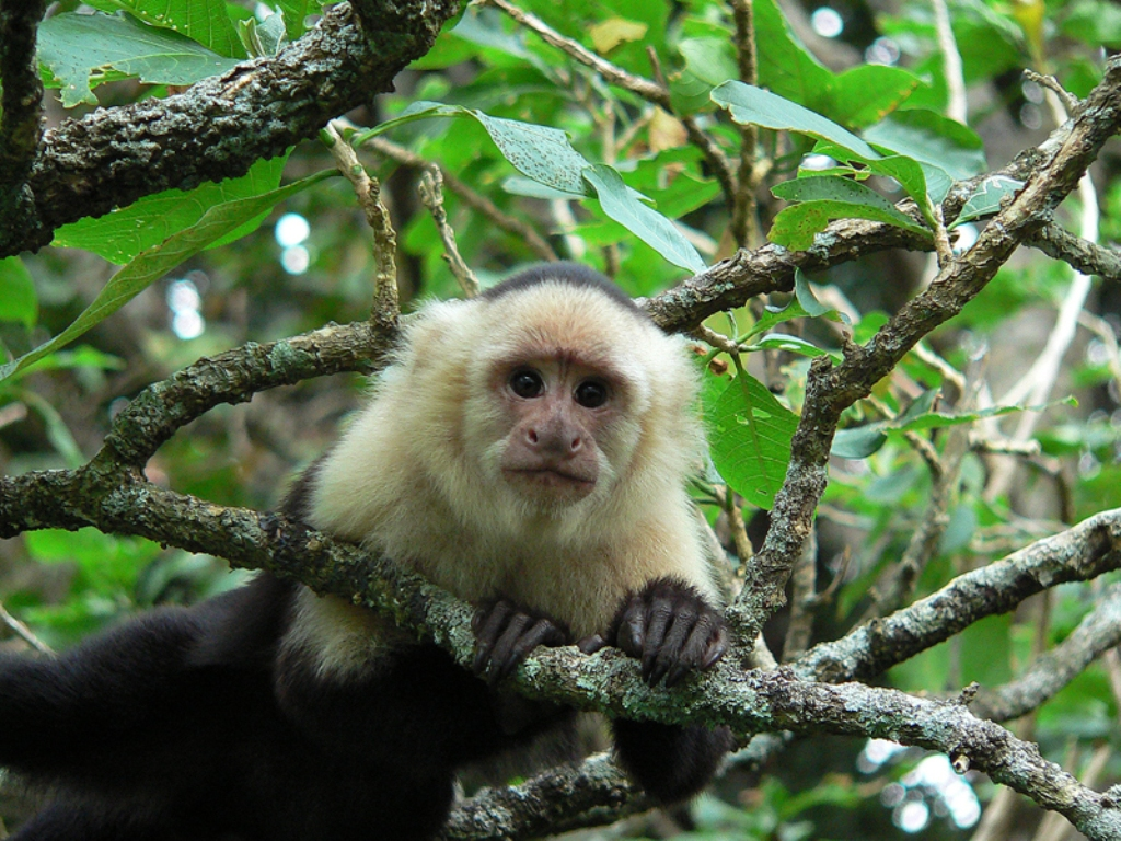Costa Rica white face Monkey
