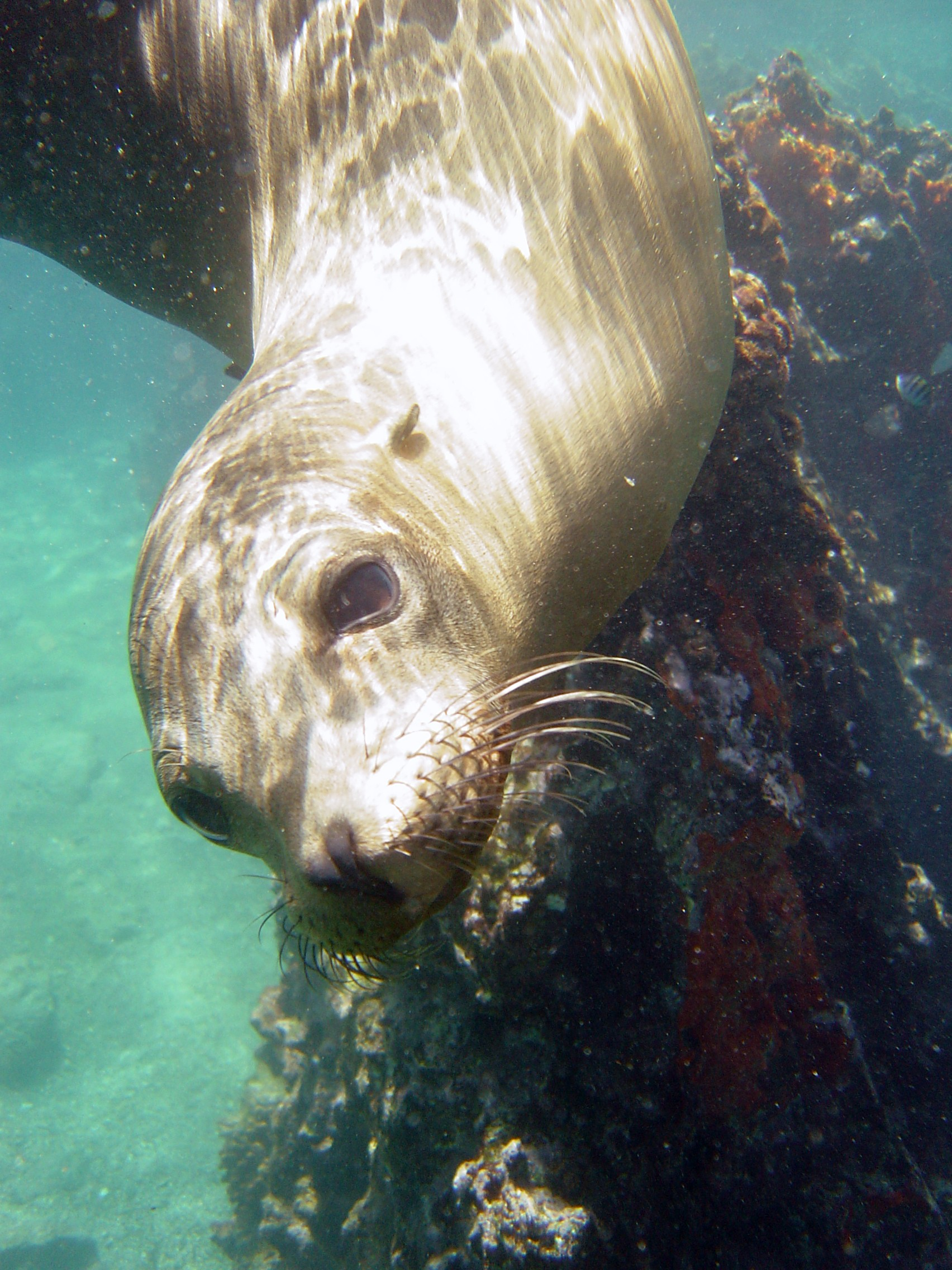 Swimming with sea lions-the Galapagos Islands